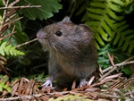Bank vole (Clethrionomys glareolus)